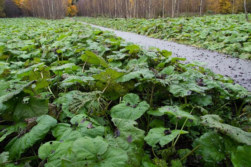 Pestskråp, Västmanlands största bestånd. Hässlö gård 21 oktober 2012.