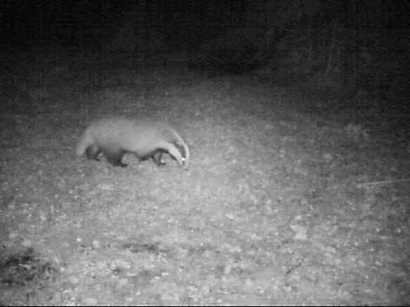 Mera vilt på tomten... Här en grävling i nattmörker. 29 september 2014 kl. 03:29.