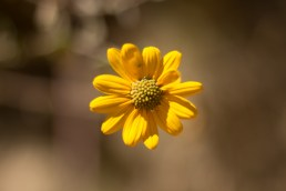 Another yellow flower, but still probably a weed