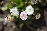 Daisy-like flower in the Secret Garden