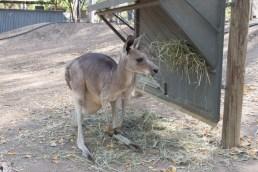 Kangaroo at the Billabong