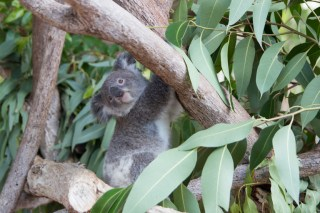 Koala joey at the Billabong