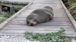 Sleepy seal