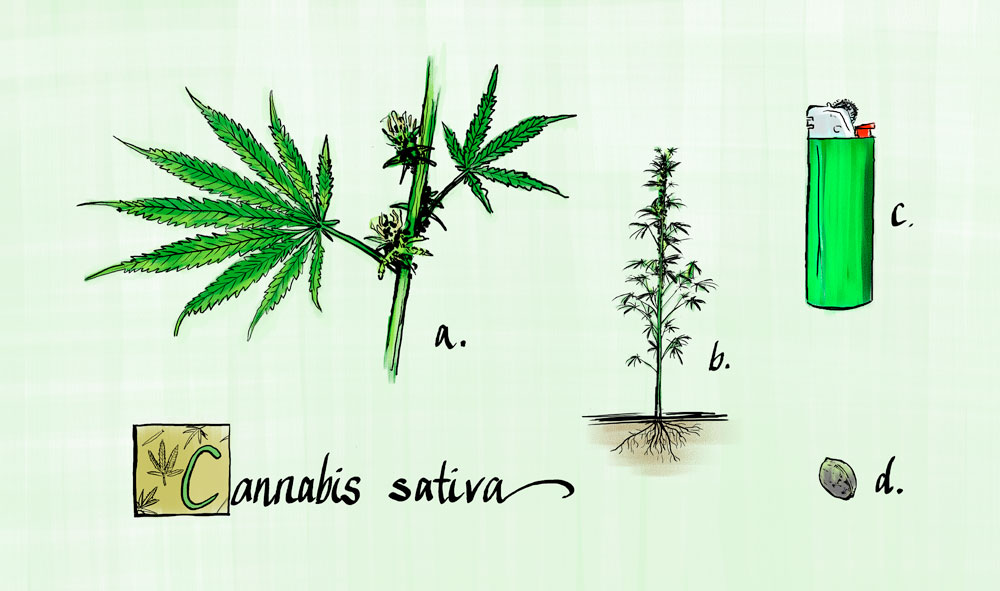 cannabis sativa