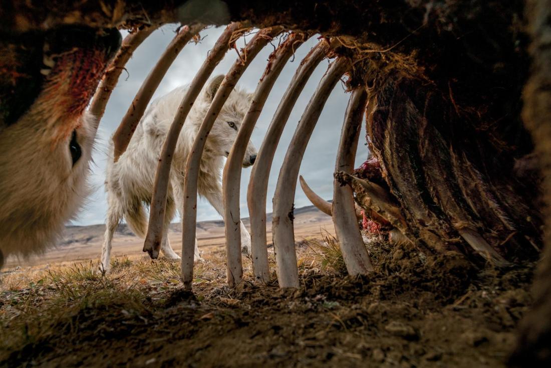 muskox-carcass-arctic-wolves.adapt.1900.1.jpg