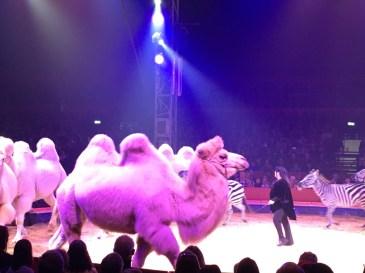 Geraldine Katharina Knie mit ihren Kamelen, Lamas und Zebras - Mein Besuch beim Weltweihnachtscircus Stuttgart 2016/2017