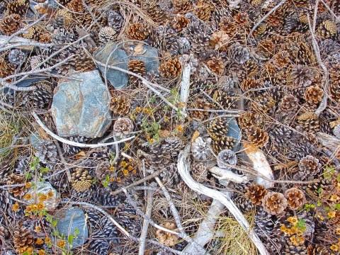Suelos de bosque con algunas piedras, ramas y muchas de piñas de pino.