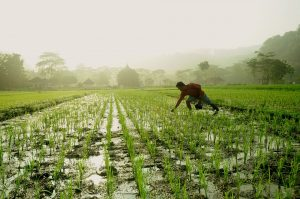 Panorámica de un campo de arroz en el que un hay un hombre trabajando.