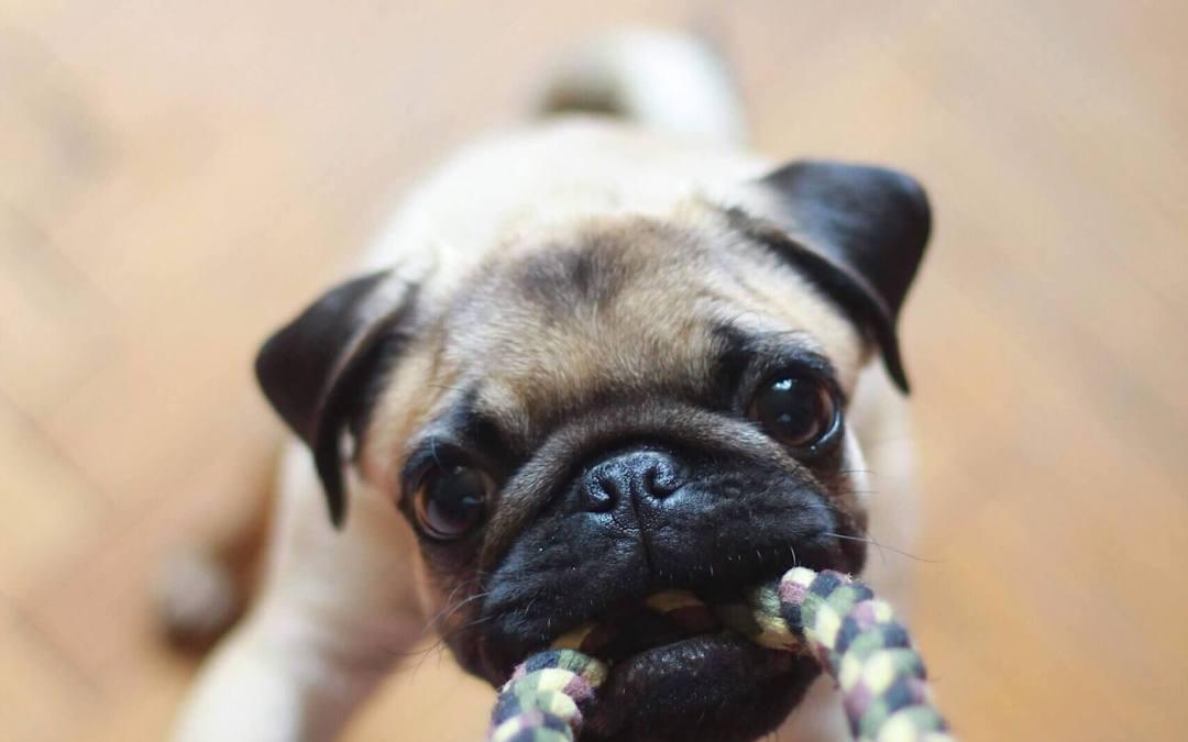 Puppy benodigdheden: wat moet je allemaal in huis halen?
