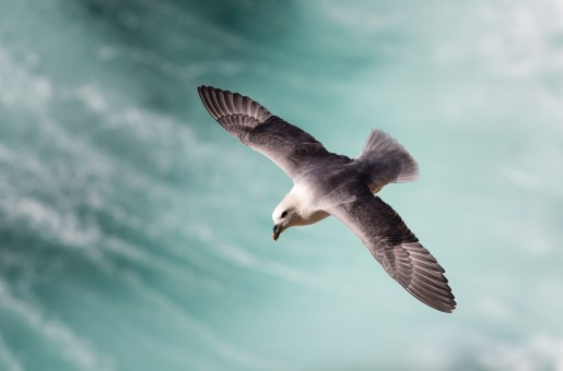 Fulmar in flight at Dunnet Head