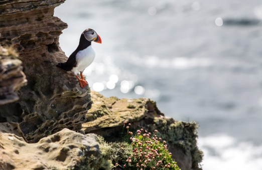 Puffin at dunnet head