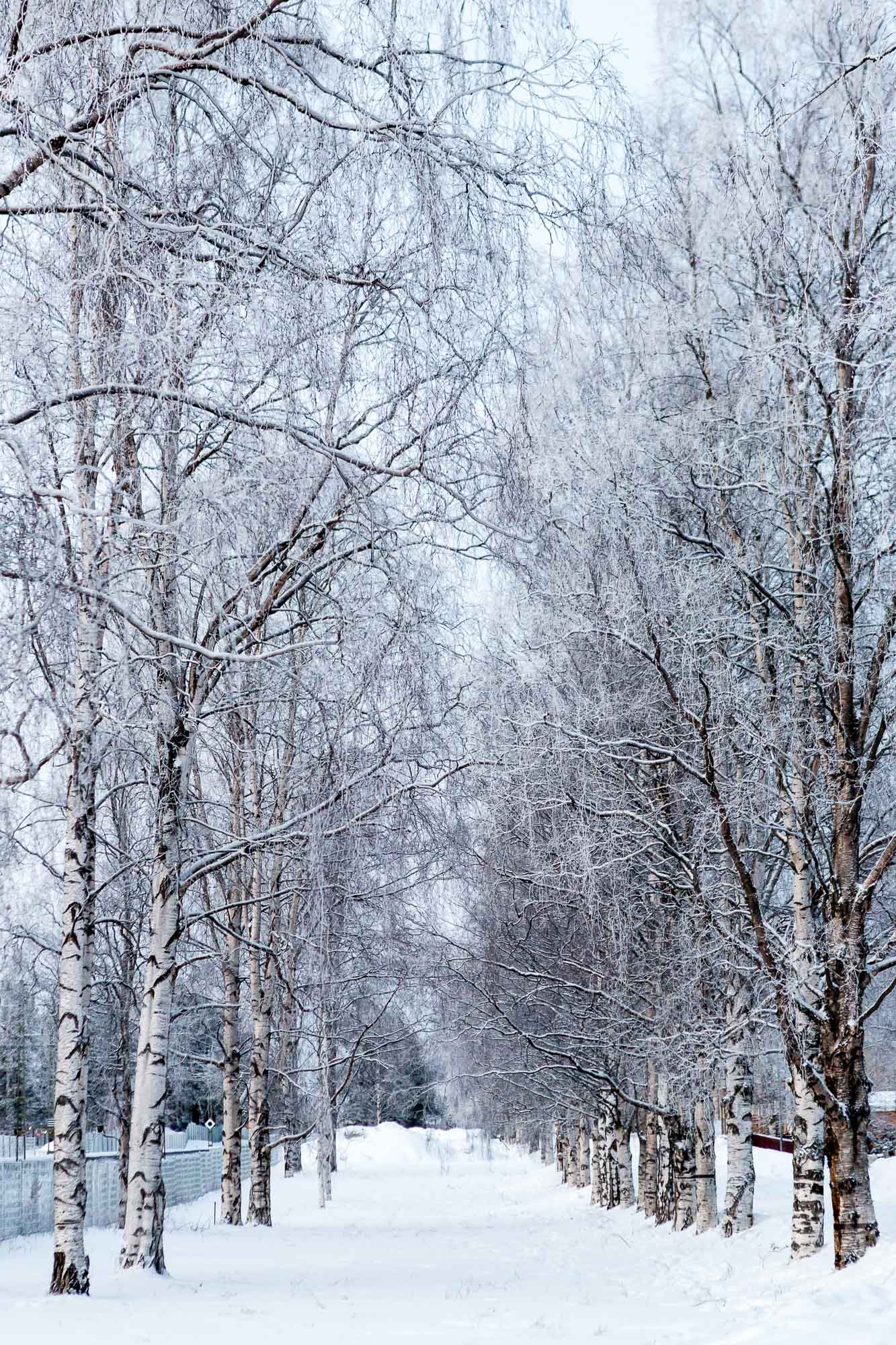 Frozen trees, Luleå, Sweden January 2017, Ben Lee Photography