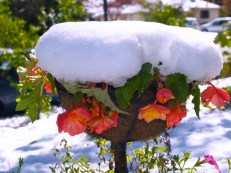The Begonias were shocked by the October Snow in NJ - 2010