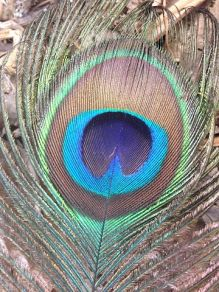 peacock attractiveness depends on the number of eyespots in its tail
