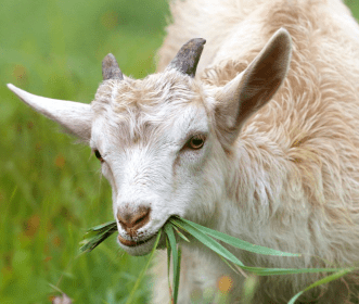 a goat pausing in mid-meal
