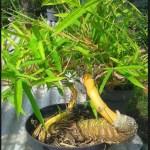 Tips Jitu Membuat Bonsai Bambu Dengan Mudah