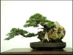 10 Pohon Bonsai Tertua Yang Menjadi Juara Dunia Bennisobekti Com
