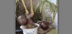Woow Bonsai Kelapa Gading Tunas Dua