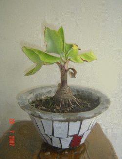 Wow Ternyata Pohon Pisang Bisa Jadi Bonsai Lo Ini Dia
