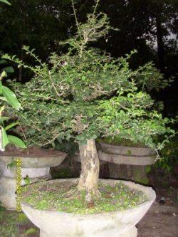 10 Jenis Bonsai Langka di indonesia