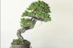 Berbagai Jenis Tumbuhan Untuk Dijadikan Bonsai Indah