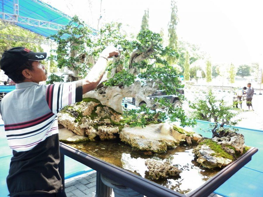 Merawat Bonsai Serut Juara & Tehnik Membuatnya