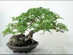 Pohon Bonsai Berry Bahama: Cara Membuat dan Perawatan Tanaman Bonsai Kesayangan Kita