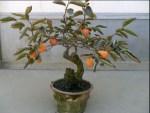 Bonsai Kesemek: Cara Paling Mudah Merubah Kesemek Menjadi Pohon Bonsai