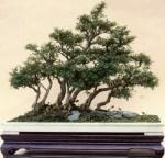 Serissa Foetida (Mawar Salju): Panduan Perawatan Untuk Pohon Serissa Foetida Bonsai