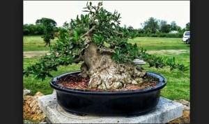Bonsai Ligustrum (Privet): Cara Merawat Bonsai Ligustrum Yang Paling Mudah