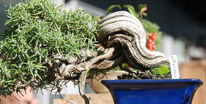 Mame Bonsai: Ada Tiga Ukuran Dari Bonsai Mame Yang Paling Populer