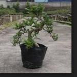 Bonsai Lada China (Xanthoxylum Piperitum): Cara Mudah Merawat Bonsai Lada Cina Bagi Pemula
