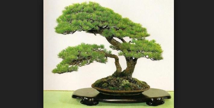 Pohon Bonsai: Rekomendasi Pohon Yang Baik Untuk Dijadikan Bonsai