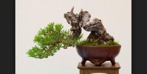 Tips Untuk Bonsai Shakan Atau Gaya Slanting Bonsai