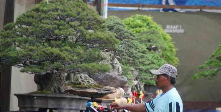 Info Bonsai: Ahli Bonsai Indonesia Dibutuhkan Pasar Dunia