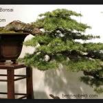 Tips Membuat Rencana Pembentukan Bonsai Untuk Pemula
