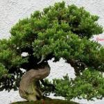 Cara Membuat Pohon Bonsai Yang Baik Bagi Pemula