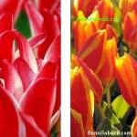 Bunga Tulip: Mengenal Bunga Tulip Greigii