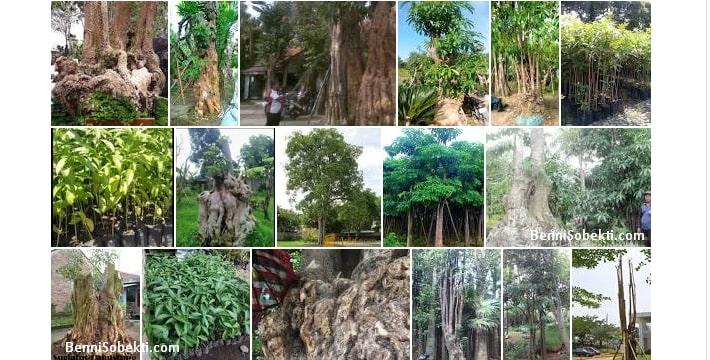 Bonsai Pohon Pule, Manfaat & Khasiat Untuk Manusia