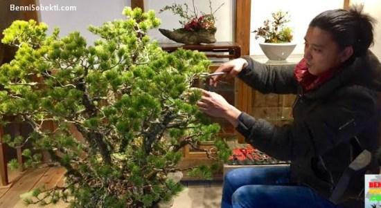 Cara Ampuh Memangkas Tunas Bonsai Yang Benar