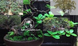 5 Bonsai Beringin Yang Bagus Dijadikan Penghias Rumah