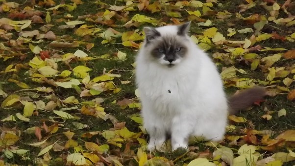 Furry White Cat Chi in the leaves