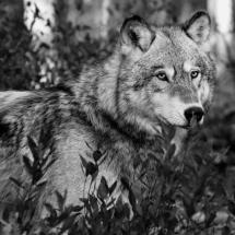 wolf_lum