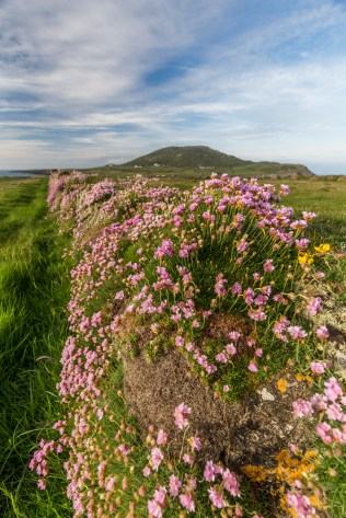 thrift with Bardsey mountain in the backdrop