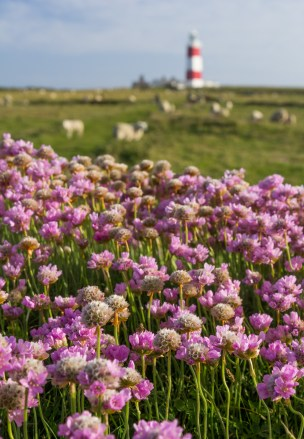 Bardsey Lighthouse and thrift