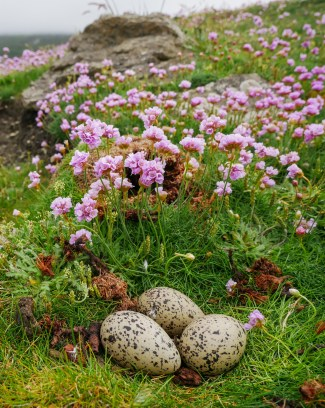 Not-so-camouflaged Oystercatcher nest!