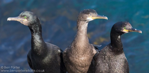 A fledged shag chick with its parents