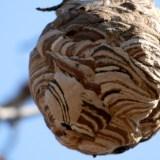 スズメバチの巣の撤去は現在行っておりません。申し訳ございません。