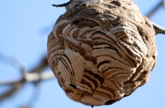 スズメバチの巣駆除について