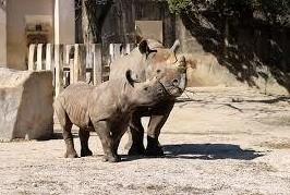 安佐動物園のクロサイ